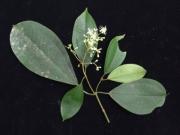 Miconia hondurensis Flower Leaf