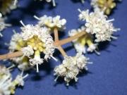 Miconia prasina Flower