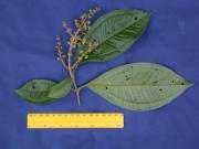 Miconia prasina Flower Leaf
