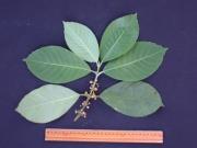 Siparuna pauciflora Flower Leaf