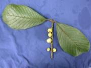 Siparuna pauciflora Fruit Leaf
