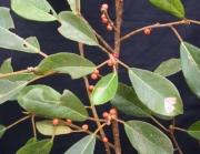Ficus colubrinae Fruit Leaf