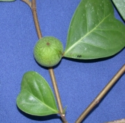Ficus maxima Fruit