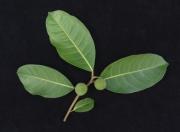 Ficus maxima Fruit Leaf