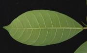 Ficus maxima Leaf