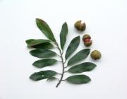 Osteophloeum platyspermum Fruit Leaf