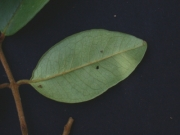 Eugenia venezuelensis Leaf