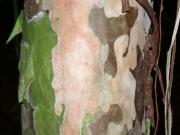 Psidium friedrichsthalianum Bark