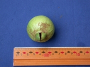 Psidium friedrichsthalianum Fruit
