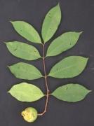 Psidium friedrichsthalianum Fruit Leaf