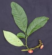 Heisteria macrophylla Fruit Leaf