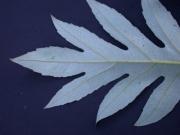 Bocconia  frutescens