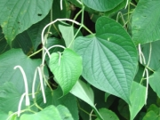 Piper marginatum Flower Leaf
