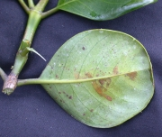 Palicourea tubuliflora Leaf