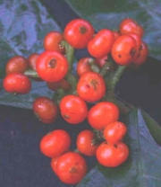 Psychotria racemosa Fruit