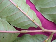 Zanthoxylum panamense Leaf