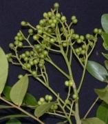 Zanthoxylum panamense Fruit