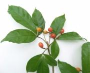 Allophylus psilospermus Fruit