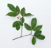 Allophylus psilospermus Fruit Leaf