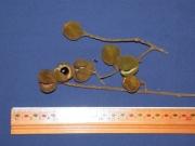 Cupania latifolia Fruit