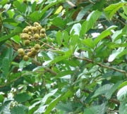 Cupania latifolia Fruit Leaf