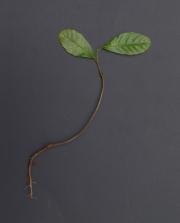 Cupania latifolia