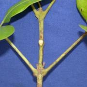 Matayba apetala Leaf