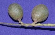 Talisia nervosa Fruit