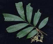 Talisia nervosa Flower Leaf
