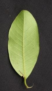 Pouteria foveolata Leaf