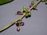 Cestrum latifolium Fruit