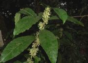 Cestrum megalophyllum Flower Leaf