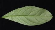 Cestrum megalophyllum Leaf