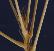 Herrania purpurea Leaf