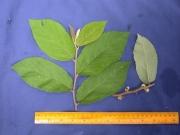Waltheria glomerata Flower Leaf