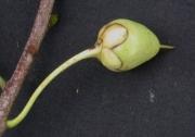 Ternstroemia tepezapote Fruit