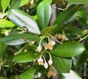 Ternstroemia tepezapote Flower Leaf