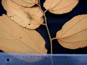 Luehea seemannii Leaf
