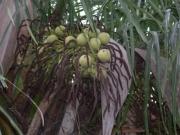 Acrocomia aculeata Fruit