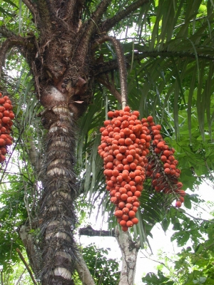 Astrocaryum standleyanum Fruit