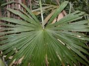 Cryosophila warscewiczii Leaf