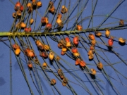 Synechanthus warscewiczianus Fruit