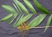 Synechanthus warscewiczianus Fruit Leaf