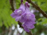 Jacaranda caucana Flower