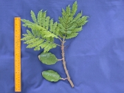 Jacaranda caucana Fruit Leaf
