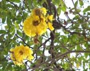 Tabebuia ochracea Flower