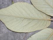 Tabebuia ochracea Leaf