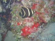 Pomacanthus paru juvenile