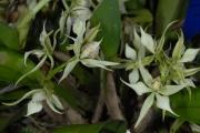 Prosthechea fragrans