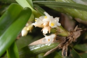 Maxillaria neglecta